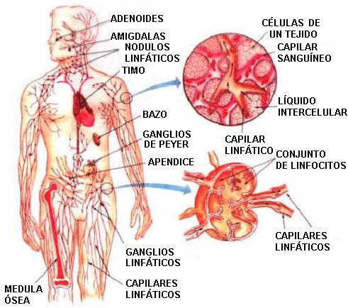 Nódulos o glándulas principales del sistema linfático
